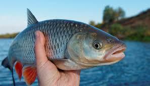 رابطه ماهی با شنوایی گوش