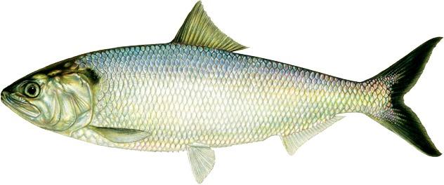 برای تقویت قوای جنسی ماهی بخورید