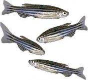 ماهی گورخری راه درمان صرع را هموار کرد