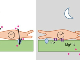 کنترل عملکرد سد خونی مغز توسط ساعت مولکولی