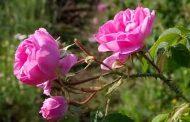خواص دارویی فوق العاده گل محمدی
