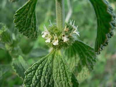 خواص و فواید گیاه افنان برای زنان