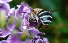 زنبورهای عسل هم معتاد می شوند