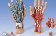 آشنایی با ساختار دست