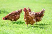 همه چیز درباره آلرژی مرغ