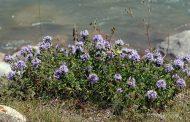 خواص معجزه آسای گیاه آنخ (کاکوتی)