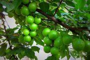 نگهداری و کاشت درخت گوجه سبز